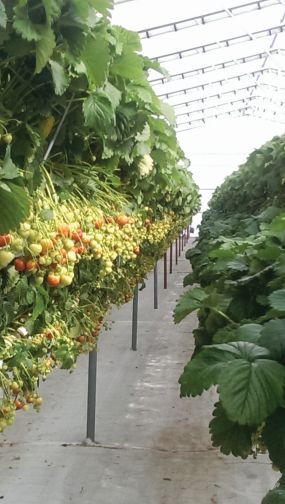 how to grow strawberries in a small greenhouse