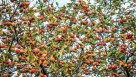 'Franklin' cider apples hang on the original tree in Franklin, VT. (Photo credit: Bill Mayo)