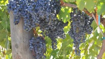 Pierce's disease-resistant grapes  Photo: Dan Ng
