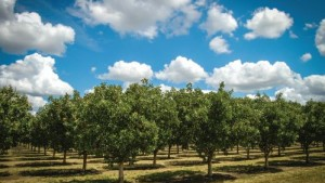 2015: A Year To Forget For Pistachio Growers