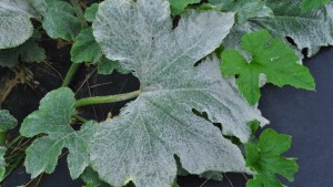 The Problem With Powdery Mildew In Pumpkin