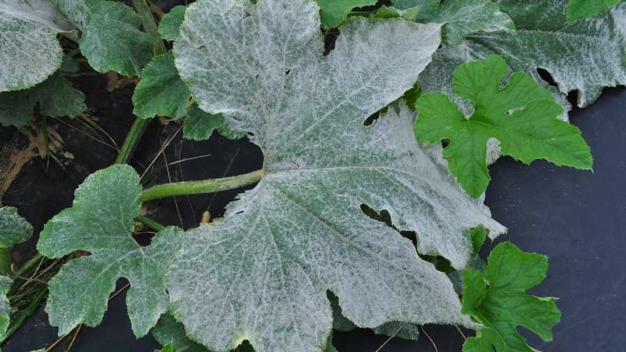 The Problem With Powdery Mildew In Pumpkin Growing Produce