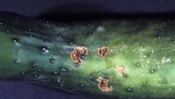 Scab disease on a cucumber