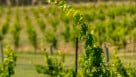 Faith, Hope And Charity Vineyards successfully grows nine cold-hardy hybrid winegrape varieties in Central Oregon.
