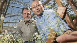 Kent Bradford, left, and Alfred Huo, seen here with a flowering lettuce plant, found that lettuce could be prevented from flowering by increasing the expression of a specific microRNA in the plants. The high levels of this microRNA prevent the plant from transitioning to adulthood and flowering, and the plant continues to make numerous baby leaves rather than forming a compact head of lettuce. (Gregory Urquiaga/UC Davis)