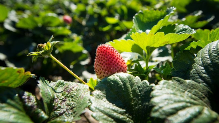 New Low-Dose Biofungicide for California Produce Growers