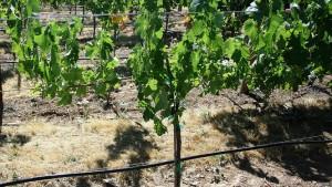 New App Helps Growers Determine Stunted Vine Causes