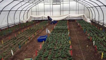 Undergraduate student assistant Talia Levy harvests spinach on Dec. 18, 2015. The row cover you see at the end of the tunnel is removed for harvest and then replaced for added warmth.  Photo credit: Kaitlyn Orde/UNH