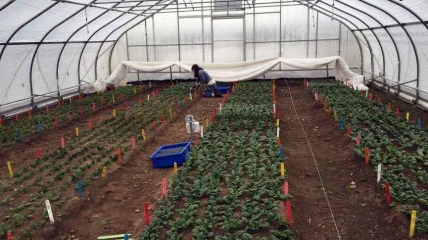 Research On Growing Spinach In Winter Helps Determine Planting Dates