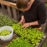 An intern harvest salad greens at Churview Farm for a farm dinner
