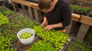 An intern harvest salad greens at Churview Farm for a farm dinner