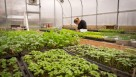 An intern harvest salad greens in Churchill Farm's greenhouse