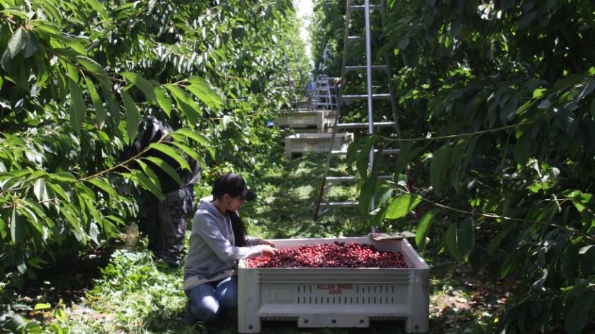 Northwest Cherry Crop Estimates Down This Year