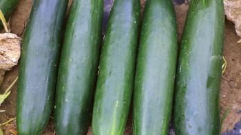 Cucumber---Bristol_web