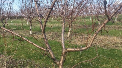 Georgia Peach Growers Brace for Low Chill Hours