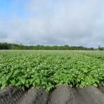 Florida potato field in bloom.