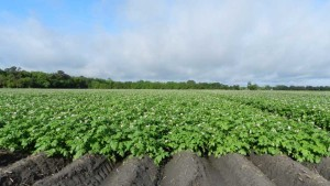 Florida potato field in bloom.