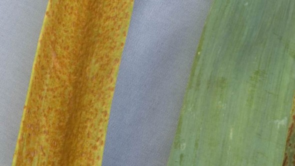 Choosing the right fungicide can be critical as shown here by the stark contrast between a fungicide-treated garlic leaf (right) and an untreated leaf covered with a pathogenic rust fungus. Photo credit: S. T. Koike