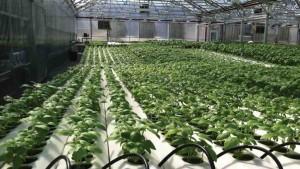 Ensure Proper Lighting For Your Greenhouse Vegetables