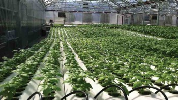 Gotham Greens Greenhouse in New York uses supplemental high-pressure sodium lighting for its basil crop. Photo credit: Chieri Kubota, University of Arizona