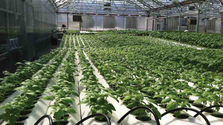 Marvelous Gotham Greens Greenhouse In New York Uses Supplemental High Pressure Sodium  Lighting For Its Basil