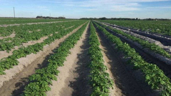 Jones Potato Farm field in Parrish, FL