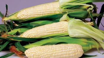 Sweet-Corn---Eden_web