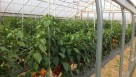 Researchers grew the colored bell peppers in an unheated high-tunnel at the experiment station's Woodman Horticultural Research Farm. Photo credit:  University of New Hampshire
