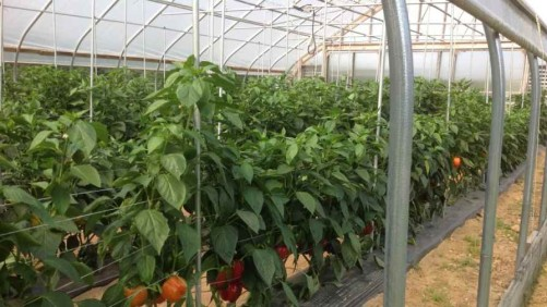 High Tunnel Bell Pepper Trial Highlights Varieties Best Suited For An Unheated Environment