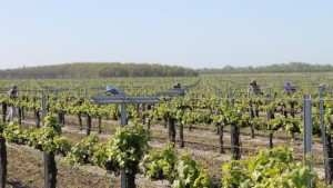 Vineyards Honored For Sustainability