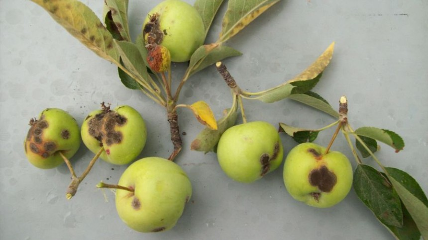 Apple Infection Risk High at Tight Cluster