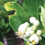 HLB-riddled key lime tree crawling with Asian citrus psyllids