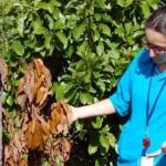 UF/IFAS researcher Cristina Pisani examines ailing avocado tree