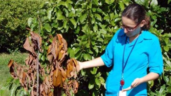 UF/IFAS researcher Cristina Pisani examines ailing avocado tree