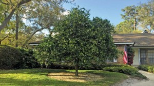 Dooryard citrus tree in Florida