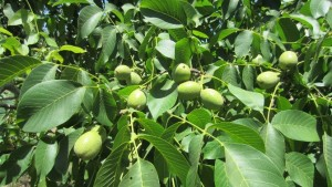 New 'Durham' Walnut Offers Earlier Harvest