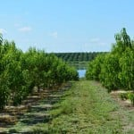 Florida peach planting with a citrus grove in the backdrop