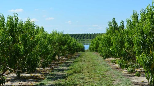 Fleshing Out The State Of The Florida Peach