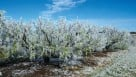 Freeze protected peach trees in Florida