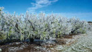 Freezing Temperatures Hit South Carolina Crops Hard