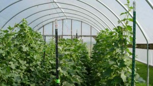 Keys To Successful High Tunnel Melon Production