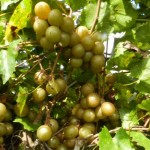 a bunch of muscadine grapes