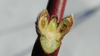 (Photo credit: www.fruitadvisor.info)