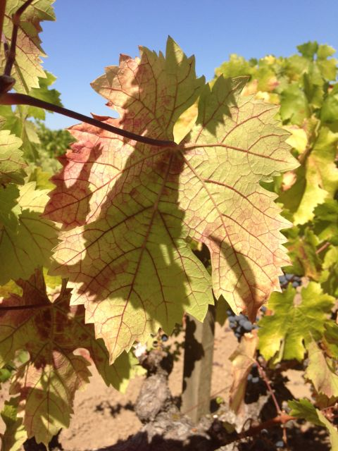 A vine shows signs of red blotch along a leaf. (Frank Zalom)