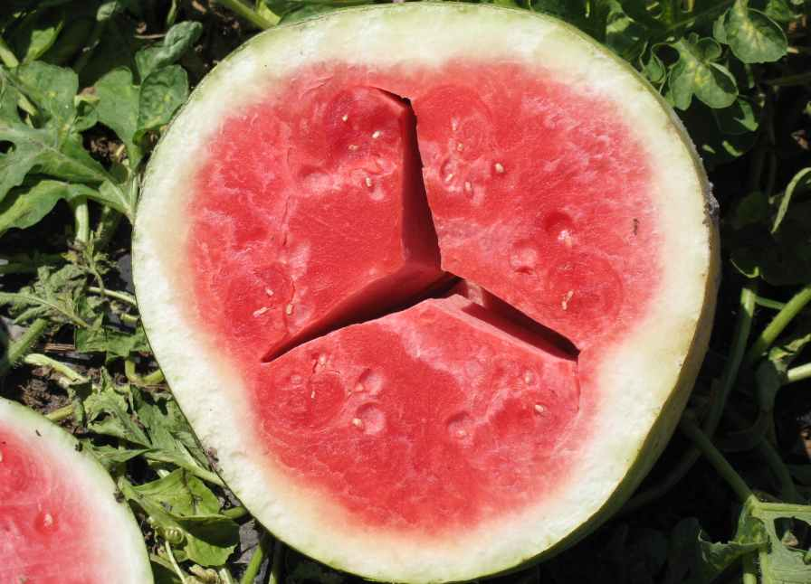 Pictures Of Watermelon Diseases