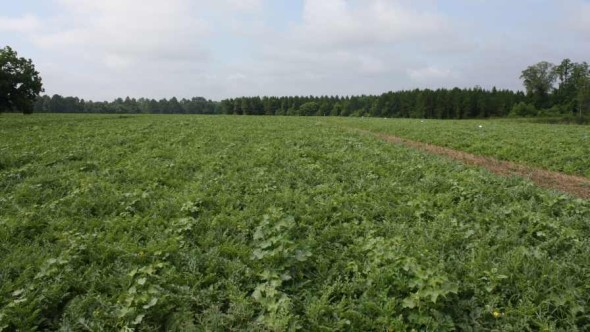watermelon field R Gordon