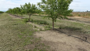 A herbicide screening trial in a non-bearing almond orchard treated in early January 2011.  The middle plot is a glyphosate-only program whereas the foreground and background plots had residual herbicides.  The photo was taken four months after the January treatments. (Photo credit UCANR)