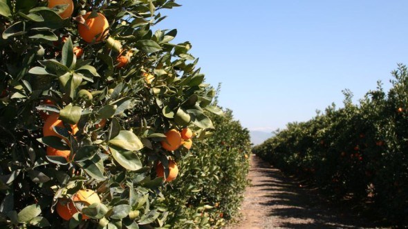 "California's ""Citrus Belt"" is on the east side of San Joaquin Valley, not far from the Sierra Nevada foothills. (Photo credit: David Eddy)"