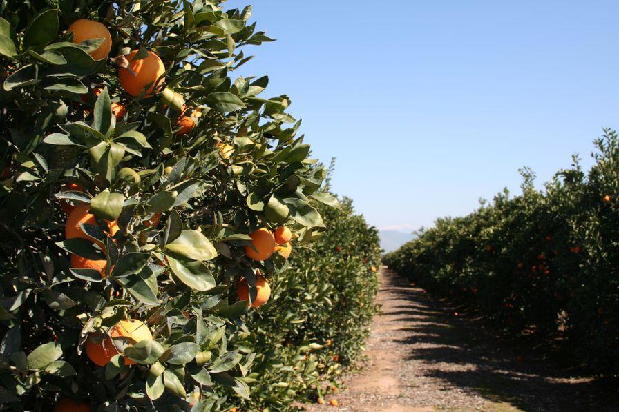 New Program Targets Abandoned California Citrus Trees