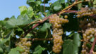 Itasca Grapes (Photo credit: University of Minnesota College of Food, Agriculture and Natural Resource Sciences)
